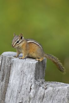Least Chipmunk adult