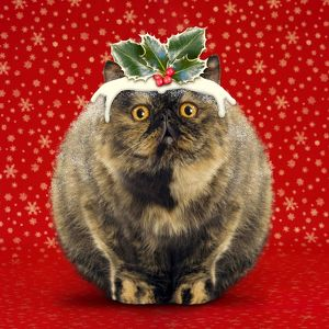 Christmas Pudding Cat - Exotic short-haired tortoiseshell.