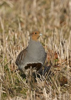 CK-4608 Grey Partridge - male standing in winter stubble with Autumn leaves