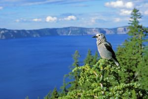 Clark's Nutcracker - sitting in top of hemlock tree
