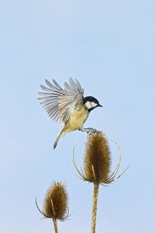 Coal Tit - landing on Teasel