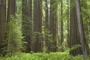Coastal Redwood forest - Stout Grove