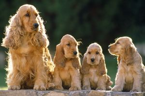 Cocker Spaniel Dogs - adult & puppies sitting in a row