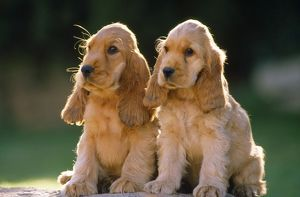 Cocker Spaniel Dogs - puppies