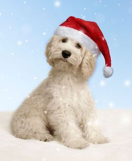 cockerpoo dog wearing a red santa christmas hat