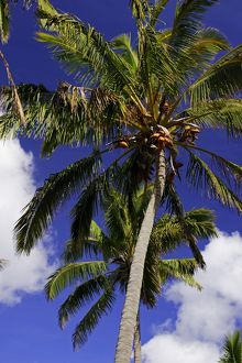 Coconut palm (Cocos nucifera), Anakena Beach, Easter