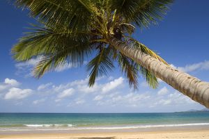 Coconut palm - a single coconut palm grows on a white dream beach in tropical Queensland