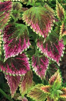 Coleus'Nettie' - (under glass) in beautiful Victorian greenhouses