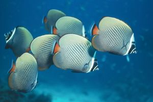 Collared / Pakistan BUTTERFLY FISH / Butterflyfish - Seven