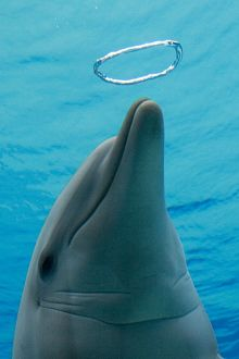 Common Bottlenose Dolphin - with air bubble ring