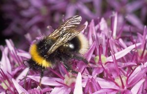 Common Bumblebee - feeding on allium flower