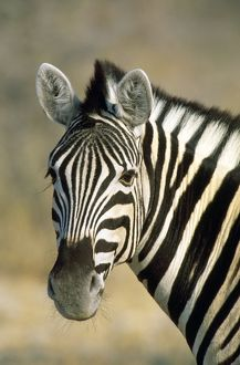 Common / Burchell's / Plains Zebra