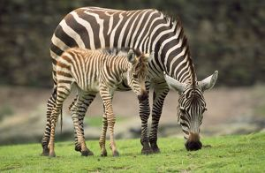 Common / Burchell's / Plains Zebra - female with foal