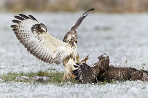 Common Buzzard - two fighting over food in winter