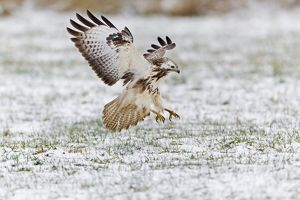 Common Buzzard - in flight - about to land on snow covered field