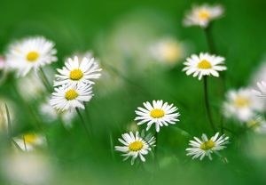 Common Daisy flowers