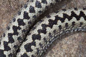 Common / European Adder male close-up