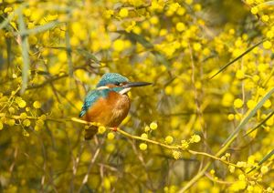 Common Kingfisher - perched in yellow flowering Mimosa Tree (Albizia julibrissin)