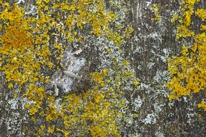 Common Marbled Carpet - Camouflaged against lichen