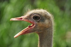 Common Ostrich female portrait