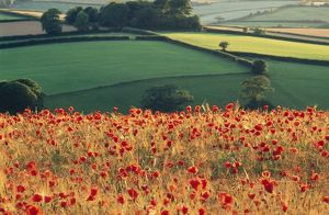 Common POPPIES - in farming landscape