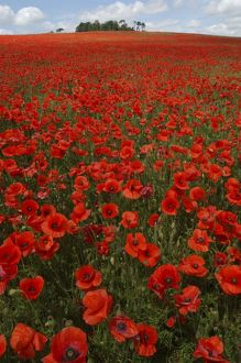 Common Poppies - in field, April