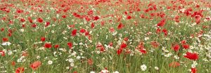 Common Poppies and Scentless Mayweed in meadow