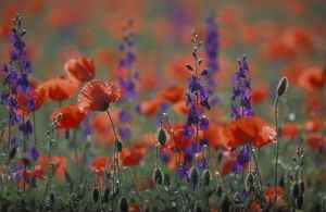 Common POPPY and Eastern Larkspur (Consolida hispanica)