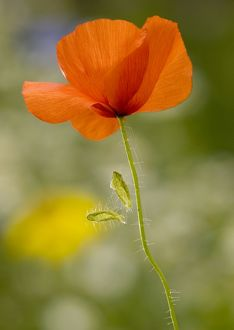 Common Poppy or Field Poppy, with fallen sepals