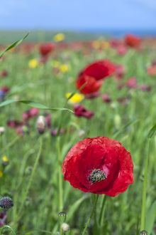 Common Poppy - in field - summer