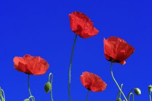 Common Poppy - flowering against a blue sky