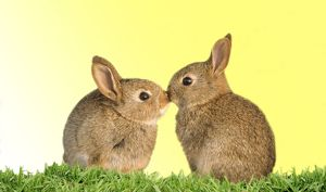 Common Rabbit - young - two kissing with yellow background