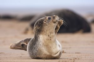 Common Seal - pup just waking up and taking a