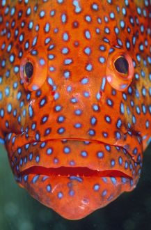 CORAL GROUPER- close up of head