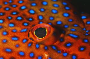 CORAL GROUPER - CLOSE-UP EYE