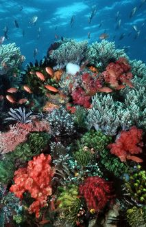 Coral wall - Komodo Marine Park is world famous for its rich and colourful marine life