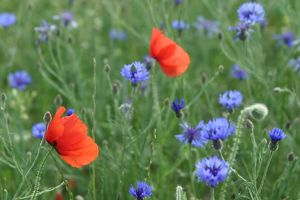 Corn / Field / Red POPPY - and Cornflowers (Centaurea cyanus) in meadow. Arable weeds