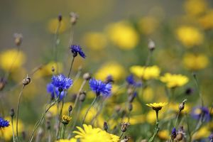 Corn Marigold - in bloom with Cornflowers - Summer