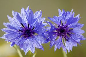 Cornflower - a rare cornfield weed in the UK
