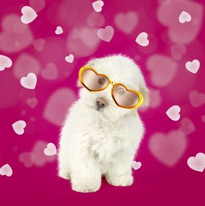 Coton de Tulear dog wearing heart shaped glasses