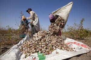 Cotton Plant workers harvesting cotton