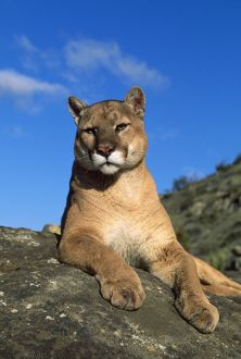 Cougar / Mountain Lion