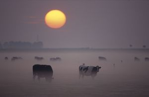 Cows - Grazing during sunset in the haze