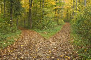 crossroads - showing fork in path where a country forest road in a colourful autumn forest forks off into two separate directions