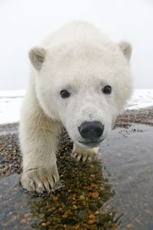 A curious Polar Bear cub comes in for a close up portrait