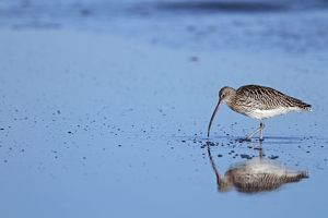 Curlew - probing for food Holy Island, Lindisfarne,