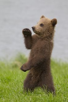 Cute Brown Bear cub standing upright doing karate or yoga