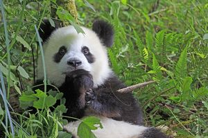 Cute and fluffy Giant Panda looking surprised