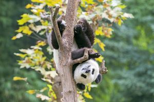 Cute Giant Panda climbing tree upside down