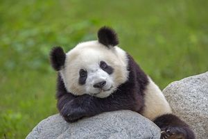 Cute Giant Panda leaning on arms and relaxing